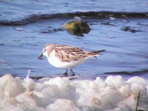 Little Stint - KP
