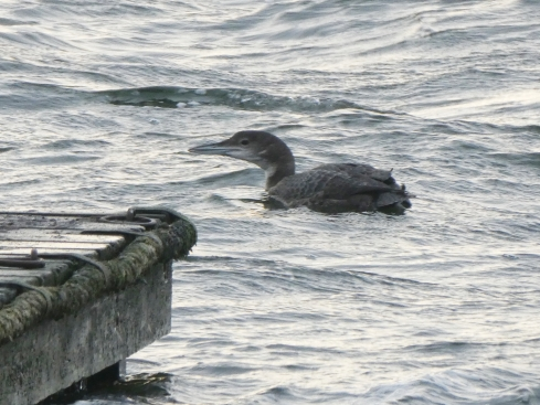 Great-northern Diver - Ade Johnson