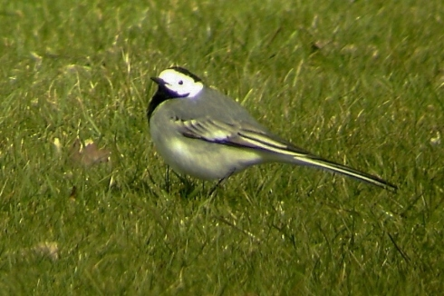 White Wagtail 05/04/06 - Ade Johnson
