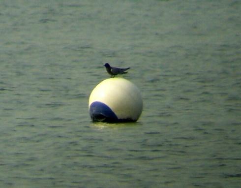 Black Tern 12/05/06 - Ade Johnson