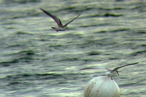 Black Tern 15/08/06 - Ade Johnson
