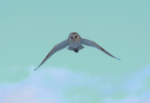 Barn Owl (ringed) Wassand - Jon Smith