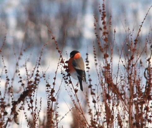 Bullfinch - Wassand