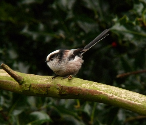 Long tailed Tit - Wassand