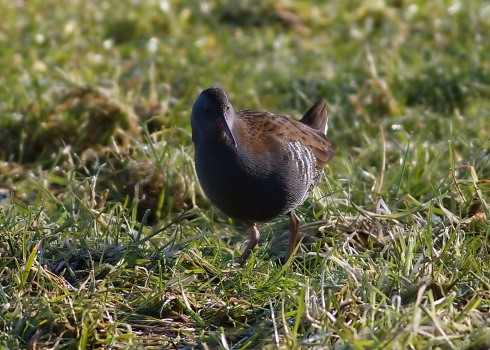 Water Rail - Dicky Ticker