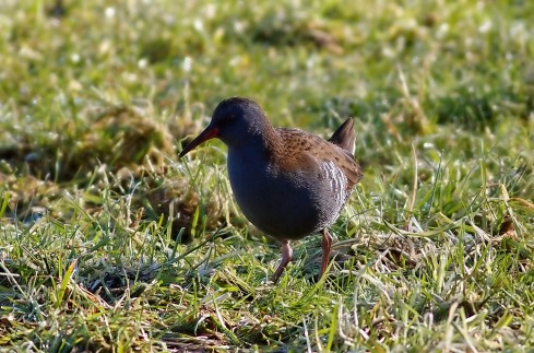 Water Rail - Rich Willison