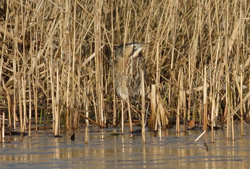 Bittern in Bull Hole - Rich Willison