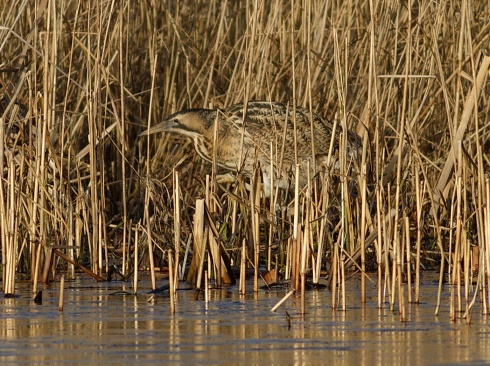 Bittern - Rich Willison