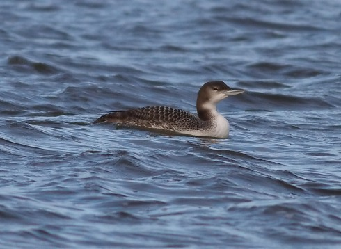 Great Northern Diver off 2nd field - Rich Willison