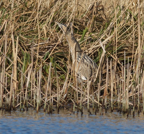 Bittern still in Bull Hole - Rich Willison