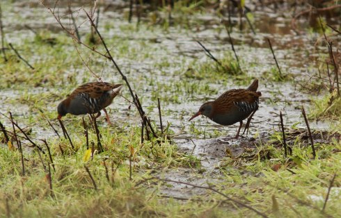 Water Rails - Jon Smith