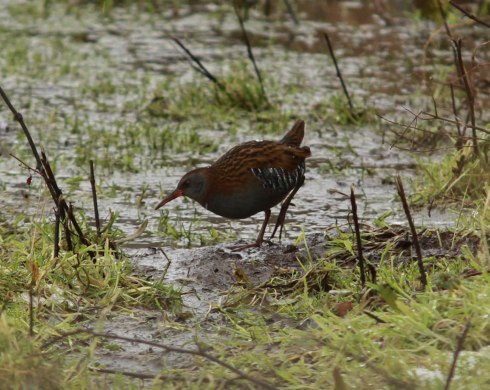 Water Rail - Jon Smith