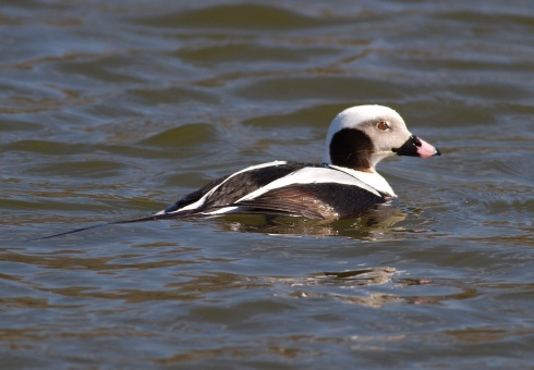 Long tailed Duck - Rich Willison