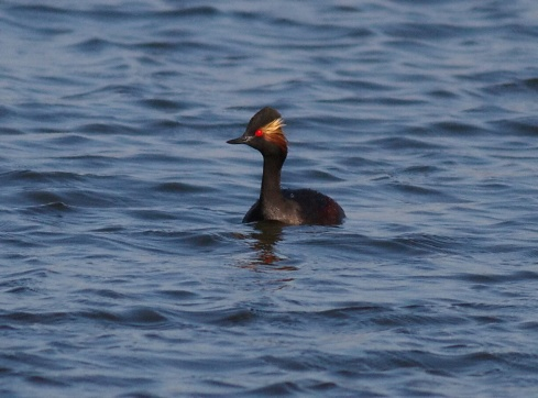 Black-necked Grebe - Dicky Ticker