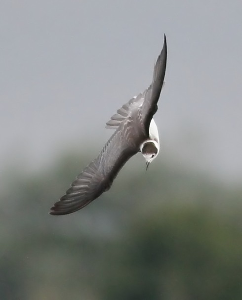 juv Black Tern - Rich Willison