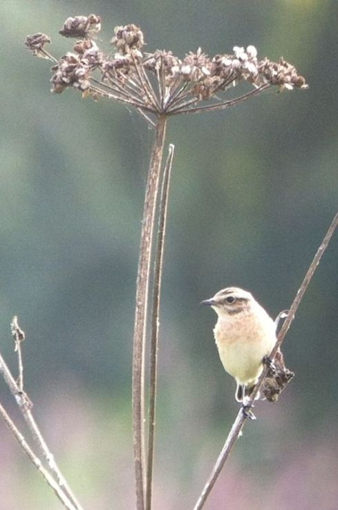 Whinchat - 3rd field
