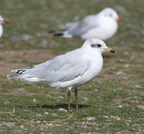 2w Med Gull - Lee Johnson