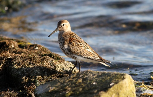 Dunlin - Rich Willison