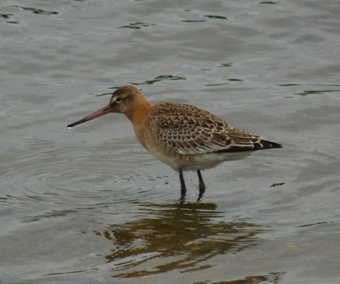 juv Black tailed Godwit on KP - Ade Johnson
