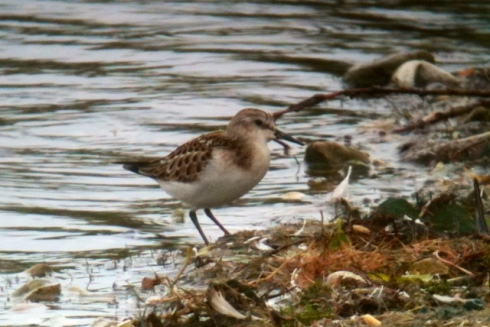 Little Stint on KP