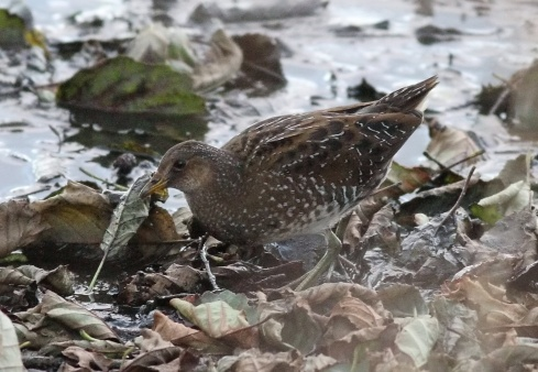 Spotted Crake - Rich Willison