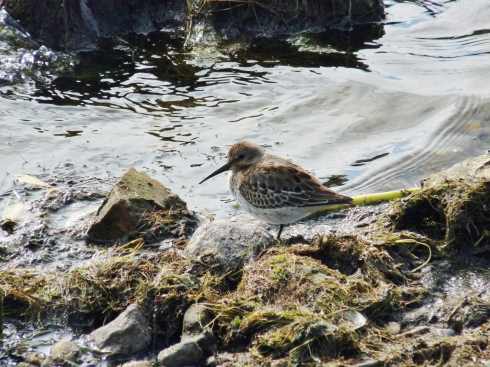 thin billed Dunlin - Ade Johnson