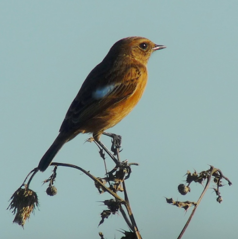 Stonechat - Ade Johnson