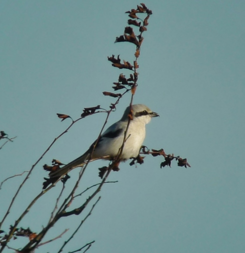 Great Grey Shrike, Cowden - Ade Johnson