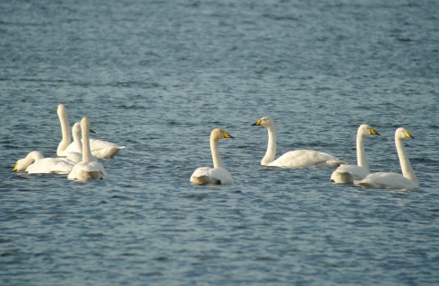 Whooper Swans - Ade Johnson