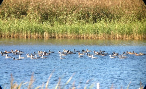 Gc Grebe's - part of the raft of 38 birds