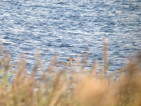 Rb Merganser - just after it dropped in