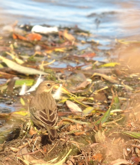 Rock Pipit - 2nd field shore