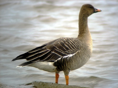 Tundra Bean Goose 17/03/08 - Ade Johnson
