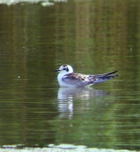 White-winged Black Tern 15/08/10 - Ade Johnson