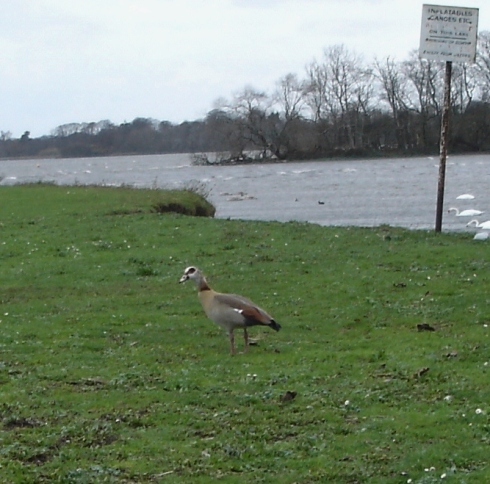 Egyptian Goose 29/11/11 - Ade Johnson