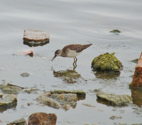 Wood Sandpiper 16/07/09 - Ade Johnson