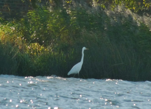Great White Egret - South East corner of Mere in am