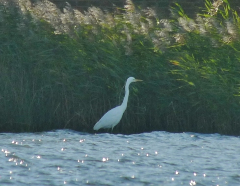 Great White Egret - Ade Johnson
