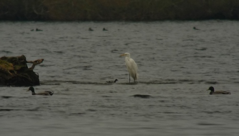 GW Egret around Tree Island - Ade Johnson