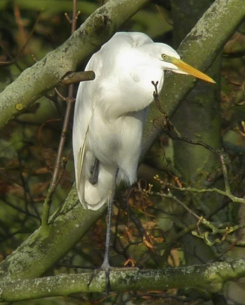 GW Egret - off Kirkholme Point