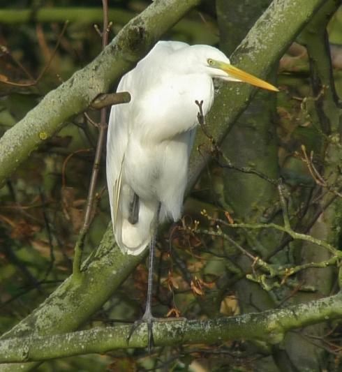 GW Egret - Hornsea Mere