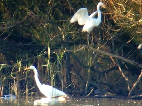 2 Great White Egret - mega distant but its not everyday you get 2 on ya patch in same view