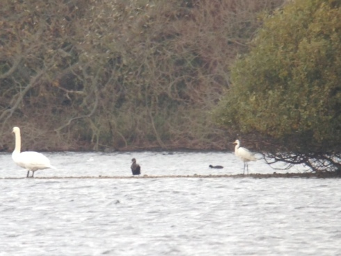 GW Egret - Swan Island spit