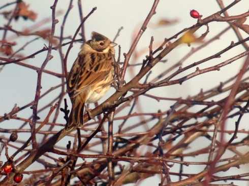 Reed Bunting - Ouzel Hedge