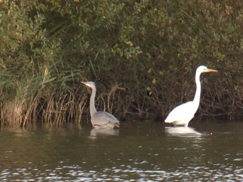 GW Egret and Grey Heron late aft
