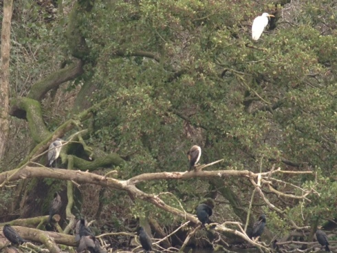 GW Egret - in the Cormorant Trees