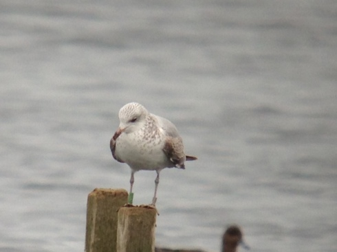 Colour-ringed 1w Common Gull