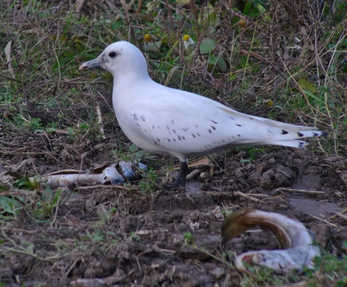 Ivory Gull - Ade Johnson