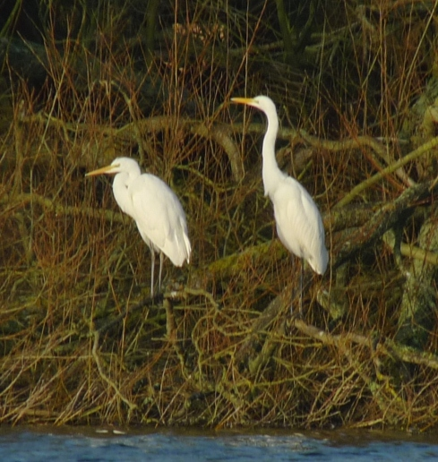 Great White Egrets - Ade Johnson