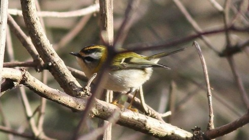 Fort Paull Firecrest - Rich Willison 03/02/14